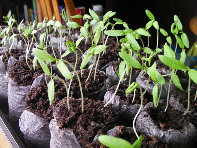 Hardening Off My Seedlings