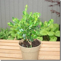 garden_wintergreen_boxwood