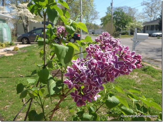 My lilac blooming for the first time! So pretty!