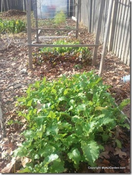 Broccoli raab and the lettuce and beet bed.