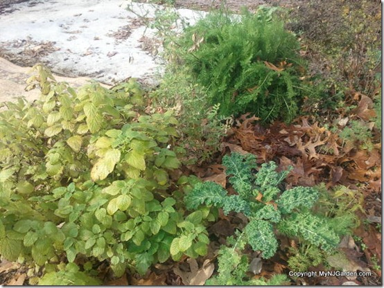 Driveway garden with lemon balm, kale, astragalus and yarrow.
