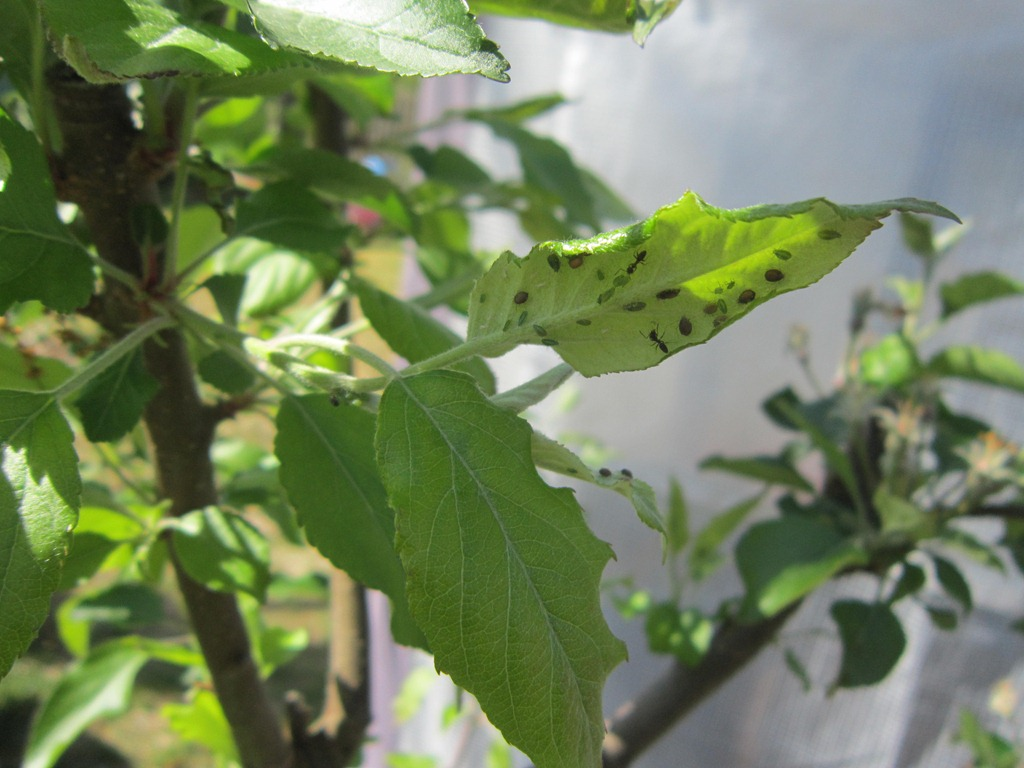 Ladybug Fun for Aphid Control on Apple Trees