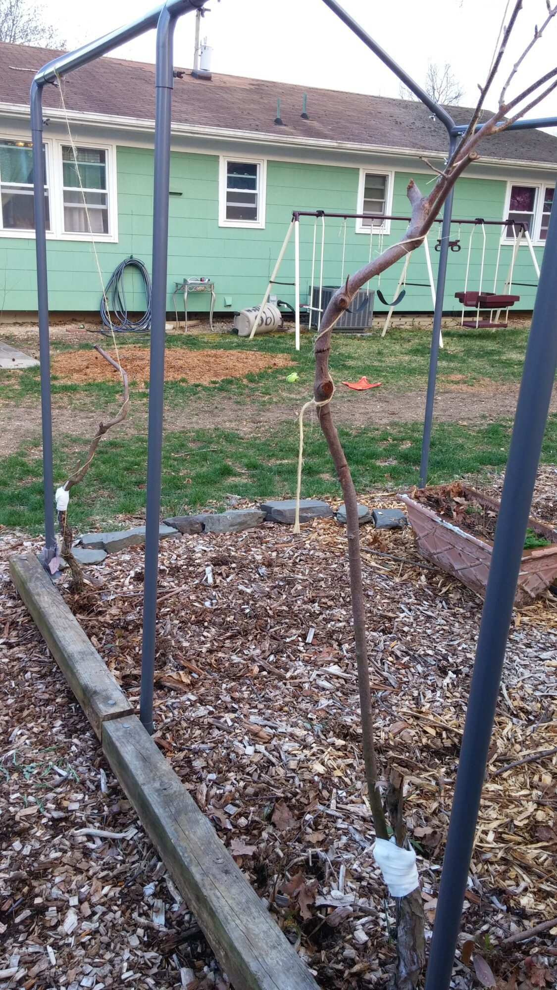 The Hazelnut Gets a Polinator, Earlyglow Strawberries and Maimed Kiwi