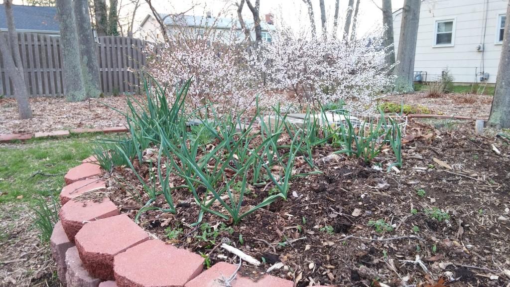 keyhole garden new jersey garlic