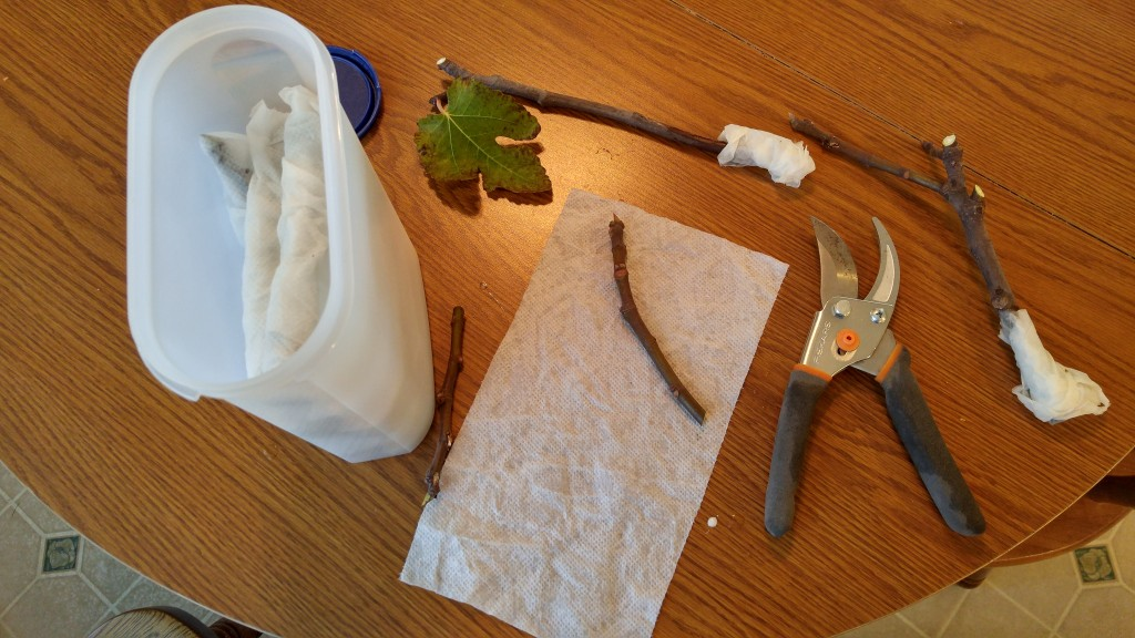 fig tree cuttings